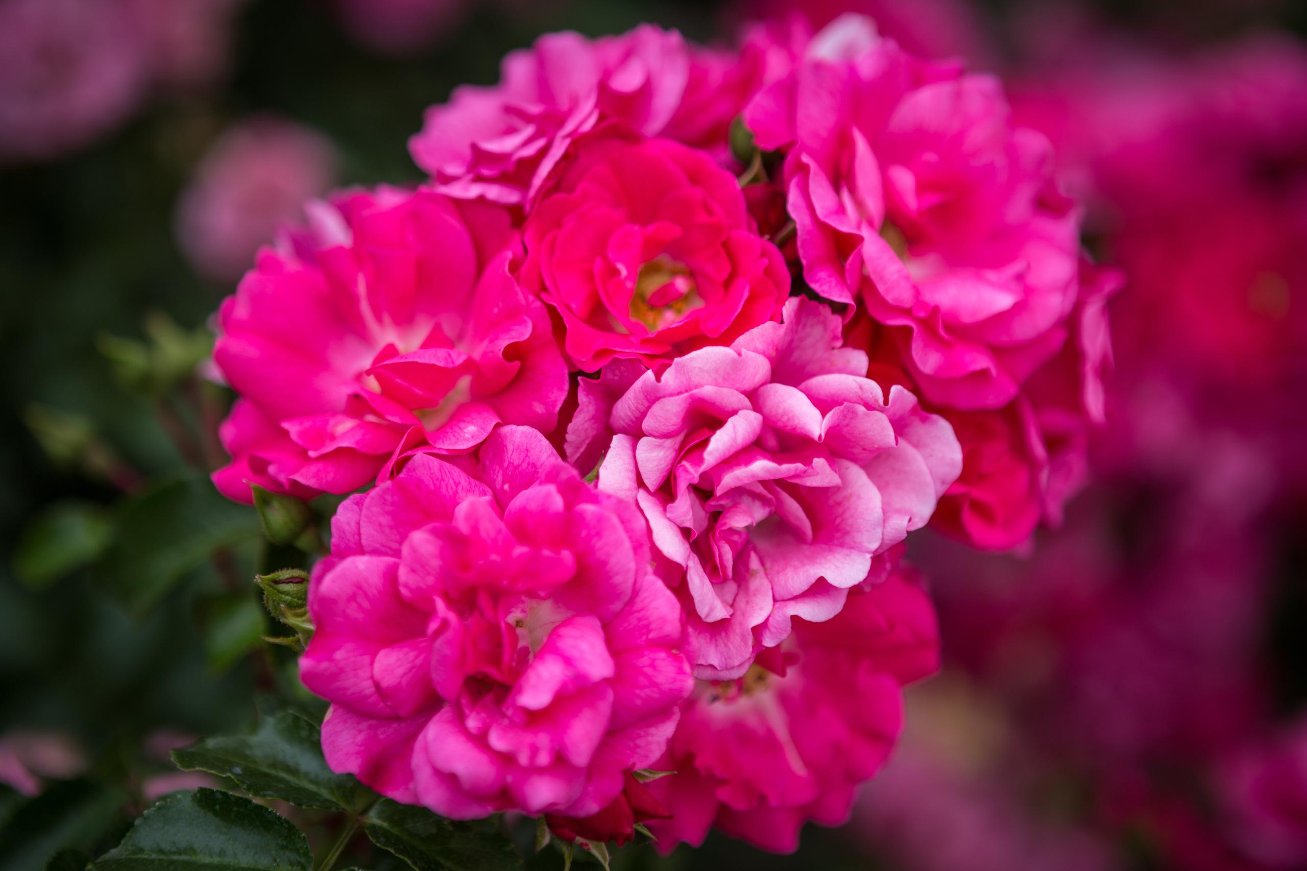 Rosen Valentinstag