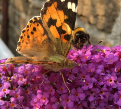 Sommerflieder mit Schmetterlingen